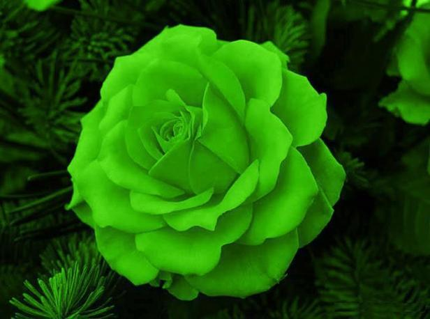 rosas-verdes